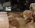Laddy the Leopard Gekko