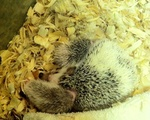 Beatrice the Hedgehog